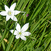 fanfictionlady: A pair of white flowers. (White flowers)