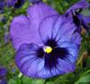 ellarien: Blue/purple pansy (Default)