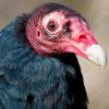 cathartesaura: (vulture face)