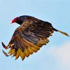 cathartesaura: (vulture flight)