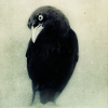 nymphy: crow (crow)