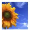 sela21k: (Tuscan Sunflower)