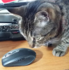 mdlbear: A brown tabby cat looking dubiously at a wireless mouse (curio)