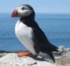 liz_marcs: Puffin side profile on Michais Seal Island, New Brunswick, Canada (Maine_Puffin)