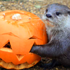 umadoshi: (autumn - pumpkin & otter (my_icon_lj))