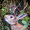 emberleo: A rabbit with antlers eating blackberries (jackalope)