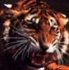 foxboi: angry roaring tiger (angry, tiger)