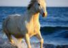 foxboi: horse running across ocean front, sunlit (camargue)