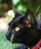 foxboi: black cat on green grass, red collar. (kenya)