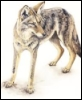 nightdog_barks: Drawing of a coyote (Coyote)