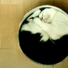 midnightlights: A cat curled so it fits perfectly into a sort of circular box thing. (cat in a box)