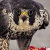 fannyfae: (falcon)