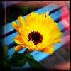 thedivinegoat: Yellow flower phographwd against the blue slats of a garden bench (My Photo - Flower and Bench)