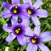 sisyrinchium_bellum: blue-eyed grass (Sisyrinchium bellum) (s_bellum)