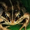 ranalore: wood frog (rana sylvatica)
