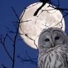 thady: (DIV  -  full-moon owl)