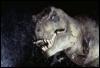 halialkers: Jurassic Park Tyrannosaurus right profile view (Turugamvirakil H'ven H'vorxixnon)