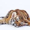 jamethiel: A tiger is sprawled flat-out (Pooped!Tiger)