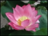 jamethiel: A pink lotus flower (LotusFlower)