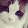 mistee: (blue eye cat)