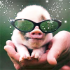 pensnest: tiny piglet in sunglasses, held in an adult's cupped hand (spangles)