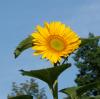 mamaboolj: (sunflower)