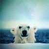 lunarwolfik: (Polar Bear!)