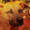 incinereous: (m, pariah dog, dog)