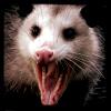 incinereous: (opossum, D)
