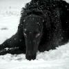 incinereous: (black dog, 0)