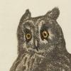 kallu: an owl (owl) (Default)