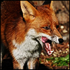 thai_thai: me yelling at some moron YT amerikwan (rabid fox)