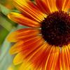 sketchesforsummer: Yellow and orange sunflower. (Nature: Flower: Sunflower)