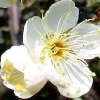 maeran: (Flower: Green Plum - Half-Bloom)