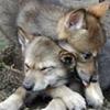 maeran: (Baby: Wolf Pups)