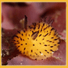 sunnymodffa: (Nudibranch Bunny)