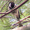 featherhearted_girl: a chickadee is sitting in what appears to be a pine tree. (chickadee, default, nietherday)