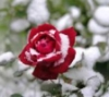 last_winter_rose