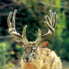 green_dreams: A jackalope (a rabbit with antlers). (jackalope, cryptotaxonomy)