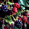 sholio: colorful blackberries and raspberries (Autumn-berries)
