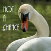 "anthimeria: Swan looking over its wing, words ""Not a chance"" along one side (Sassy Swan)"