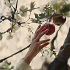kittydesade: A delicate hand reaching up to pluck fruit from a tree (give me the fucking fruit)