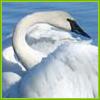 unionoftheheart: (swan)
