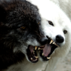 sistabro: (angry wolves)
