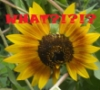wordwitch: Sunflower saying WHAT? (Sunflower)