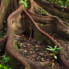 desertroot: strong rainforest tree roots, splitting and re-combining, holding little plants in the gaps (buttress roots)