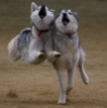 mountainghost: (bouncing huskies)