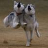 mountainghost: (bouncing huskies)
