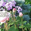 "darkemeralds: Roses and the caption ""Cultivated"" (Cultivated)"