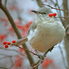 fajrdrako: ([Bird and berries])